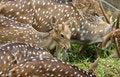 Free Deer Eat Grass Stock Photography - 7735502