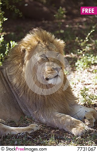 Free Young Lion Royalty Free Stock Photography - 7731067