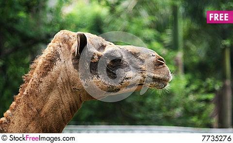 Free Camel Head Royalty Free Stock Image - 7735276
