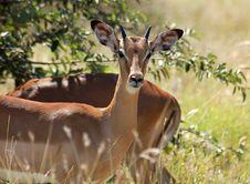 Free Africa Wildlife: Impala Stock Image - 7730641