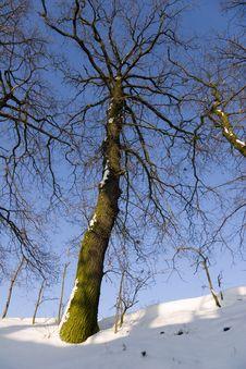 Free Oak Tree In Wintertime Royalty Free Stock Photos - 7730678