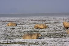 Sheep In The Winter Stock Photos