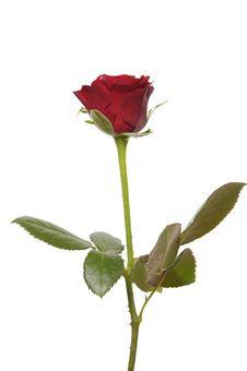 Free Rose Royalty Free Stock Image - 7731226