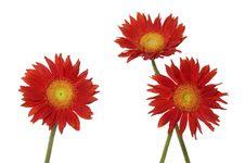 Free Sunflower Royalty Free Stock Photos - 7731748