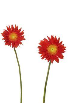 Free Sunflower Royalty Free Stock Photos - 7731758
