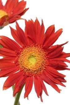 Free Sunflower Royalty Free Stock Photos - 7731818