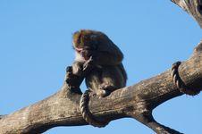 Free Macaque Stock Photos - 7732063