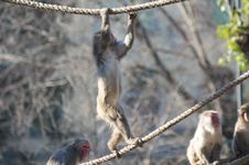 Free Macaque Stock Photography - 7732152