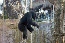 Free Chimpanzee Royalty Free Stock Photography - 7732207