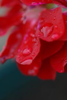 Drops On Petals Royalty Free Stock Image