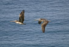 Brown Pelicans In Flight Royalty Free Stock Photos