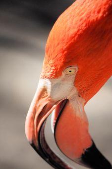 Free Flamingo Head Royalty Free Stock Photo - 7732545