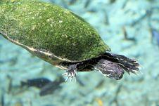 Free Swimming Turtule Royalty Free Stock Photos - 7732638