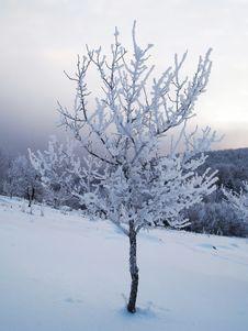 Free Snow Covered Tree Stock Photos - 7733523