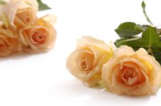 Free Rose Stock Images - 7733864