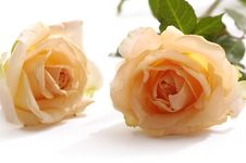 Free Rose Stock Images - 7734074