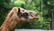Free Camel Head Royalty Free Stock Image - 7735276