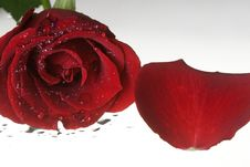 Free Red Rose With Waer Drops And Petal Royalty Free Stock Images - 7735289