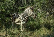 Free Zebra In Africa Royalty Free Stock Photography - 7735487