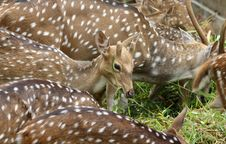 Free Deer Eat Grass Stock Photography - 7735502