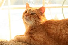 Free Orange Cat In The Sunlight. Royalty Free Stock Photos - 7735778