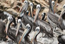 Free Pelican Posse Royalty Free Stock Images - 7735899