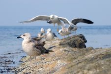 Free Seagulls On Stone Royalty Free Stock Photos - 7735918