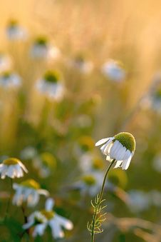 Daisy Flower At Sunset, Wild Daisies On A Meadow Stock Images