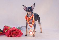 Free Russian Toy Terrier Royalty Free Stock Photos - 7736588