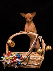 Toy Terrier Dog In The Decorated Basket Royalty Free Stock Image