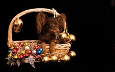 Toy Terrier Dog In The Decorated Basket Stock Photos