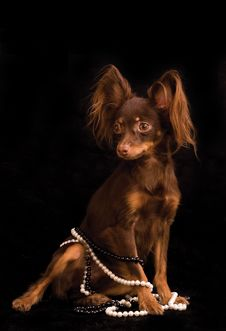Free Russian Toy Terrier Royalty Free Stock Images - 7736819