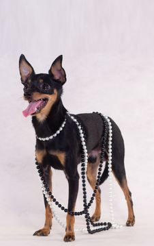 Free Russian Toy Terrier Royalty Free Stock Photo - 7736825