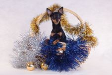 Toy Terrier Dog In The Decorated Basket Royalty Free Stock Photo