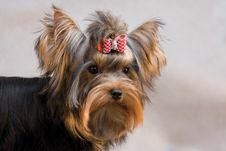 Free Yorkshire Terrier On Grey Background Royalty Free Stock Image - 7736856