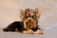 Yorkshire Terrier On Grey Background Stock Photography