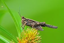 Brown Grasshopper In The Park Royalty Free Stock Image