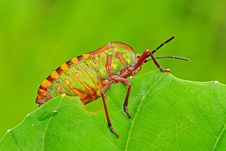 Free Colorful Stink Bug In The Park Stock Photo - 7738100