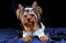 Free Yorkshire Terrier On Dark Blue Velvet Royalty Free Stock Images - 7738329