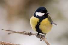 Free Great Tit Stock Images - 7738854