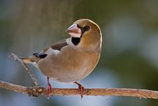 Free The Hawfinch Stock Images - 7738964