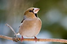Free The Hawfinch Stock Images - 7739074