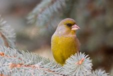 Free The Greenfinch Stock Photography - 7739132