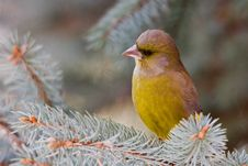 Free The Greenfinch Stock Image - 7739151