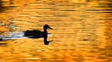 Free Duck Silhouette On Golden Pond Stock Images - 7739194