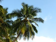 Free Coconut Tree Royalty Free Stock Image - 7739876