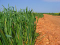 Free Maize Royalty Free Stock Photography - 7743197