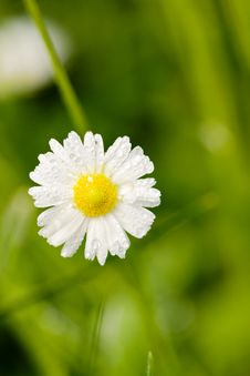 Free Daisy Stock Photography - 7740082