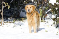 Free Golden Retriever Royalty Free Stock Photography - 7740337