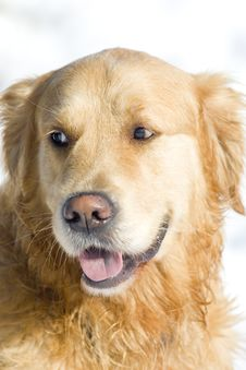 Free Golden Retriever Stock Photo - 7740350
